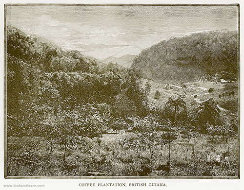 Coffee Plantation British Guiana